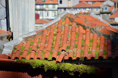 Terracotta roof tiles with moss growing.